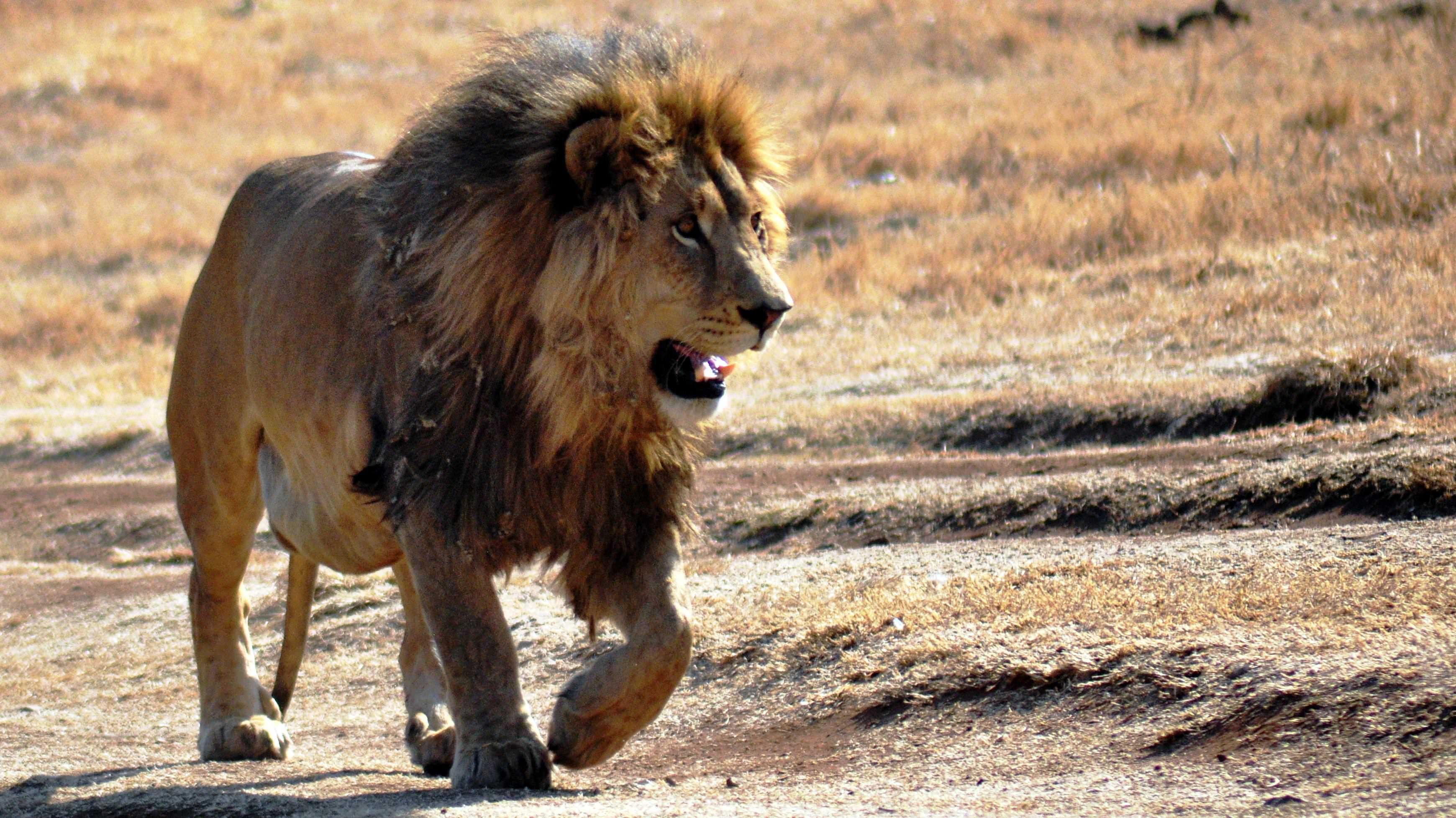головы львы атака картинки милый медвежонок охапкой