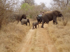 Elephants-Cross-Road