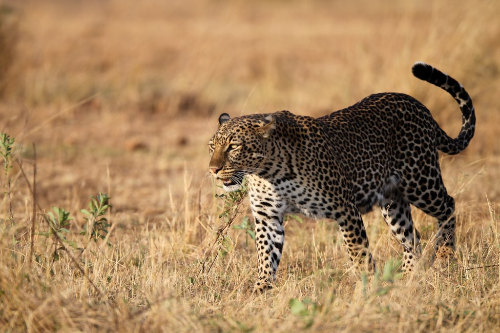 african animals africa live leopard south