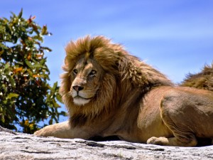 African-Male-Lion