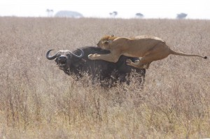 Lioness-Attack-on-WaterBuffalo